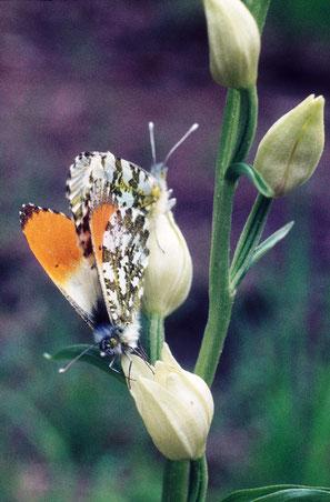 Paarung/Pärchen auf Orchidee Cephalanthera damasonium