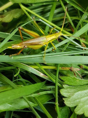 Große Goldschrecke, (Chrysochraon dispar), Männchen, Foto von Oswald Rank. Familie Acrididae (Feldheuschrecken), Unterfamilie Gomphocerinae (Grashüpfer)