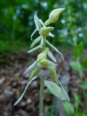 E. neglecta chlorotisch