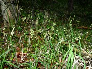 Pyrola chlorantha, Grünliches Wintergrün