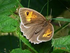 Weibchen Oberseite