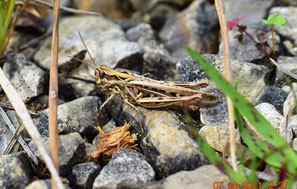 Nachtigall-Grashüpfer (Chorthippus biguttulus),
