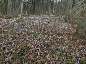 Leberblümchen im Ringgauwald