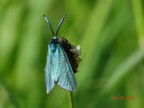 Grünwidderchen, Adscita Globulariae, Männchen
