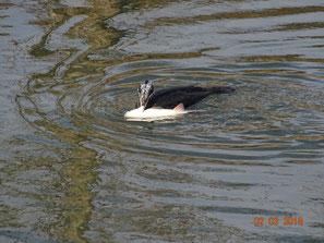 Viel zu viele Kormorane plündern die Gewässer
