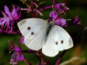 Weibchen, zwei Mittelflecken Vorderflügeloberseite