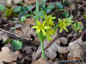 Wald-Goldstern, Gagea lutea