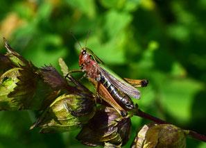 Weibchen Buntbäuchiger Grashüpfer (Omocestus rufipes), Familie  Feldheuschrecken (Acrididae), Unterfamilie Grashüpfer (Gomphocerinae)