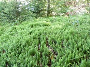 Sprossender Bärlapp, Lycopodium annotinum