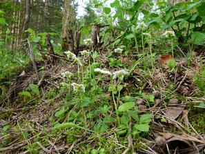Einblütiges Wintergrün, Moneses uniflora