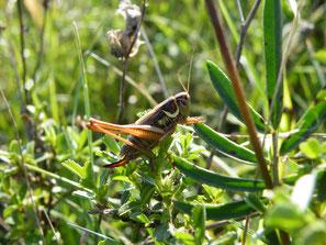 Roesels Beißschrecke ( Metrioptera roeseli), Familie Tettigoniidae (Laubheuschrecken), Unterfamilie Decticinae (Beißschrecken), Weibchen