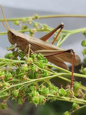 Große Goldschrecke, (Chrysochraon dispar), Weibchen der langgeflügelten  Form, Foto von Oswald Rank