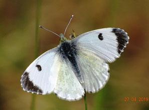 Weibchen, Oberseite