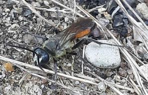 Heuschrecken-Sandwespe, Sphex rufocinctus, Foto Rainer Olßok