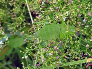 Isophya kraussi (Plumpschrecke), Familie Tettigoniidae (Laubheuschrecken), Unterfamilie Phaneropterinae (Sichelschrecken), Neufund Oswald Rank