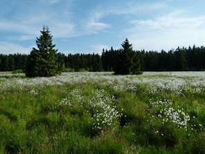 Meißnermoor mit Scheiden-Wollgras