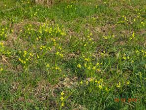 Wiesen Goldstern, Gagea pratensis