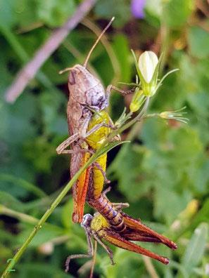 Rote Keulenschrecke, (Gomphocerippus rufus) in Kopulation, Foto von Oswald Rank. Familie Acrididae (Feldheuschrecken), Unterfamilie Gompdocerinae (Grashüpfer