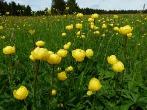 Feuchtwiese in westlichen Meißnervorland