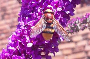 Hornissenschwebfliege Foto Rainer Olßok