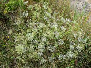 Sicheldolde, Falcaria vulgaris