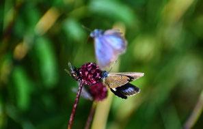 Hier schemenhaft erkennbar die Flügeloberseiten die sitzend fast nie gezeigt werden. Abfliegend Männchen, saugend Weibchen