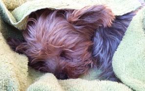 Schlafender Yorkshire-Terrier