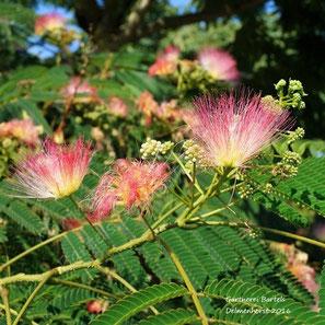 Abizia julibrissin der Seidenbaum -Schlafbaum. Dieser wunderschöne Baum blüht fast 3 Monate üppig. Die Blüten duften wie ein zartes Parfume.