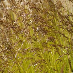 """Deschampsia flexuosa """"Tatra Gold"""" die Drahtschmiele ist ein sehr auffallendes schattenverträgliches goldgelbes Gras mit feinen, spielerisch anmutenden Rispen"""