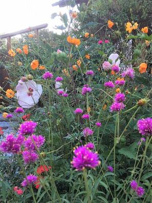 Stauden-Hibiskus geeignet für Staudenbeete, als Solitärstaude und auch wunderbar zur Kübelbepflanzung, Von der Gattung Hibiscus gibt es viele unterschiedliche Arten. Gehölze, Stauden, winterharte Gehölze & Stauden sowie exotischen rosa sinensis
