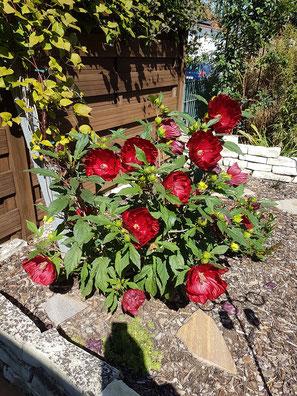 """Hibiscus """"Cranberry Crush®"""" ist eine schöne kompakte Sorte - üppig blühend wie alle Züchtungen der Stauden-Hibiskus"""