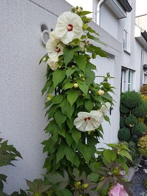 """Mit durchschnittlich 200 cm Höhe strahlt diese schöne weiß blühende Sorte auch aus der Ferne. Hibiscus x mosch. """"Old Yella"""""""