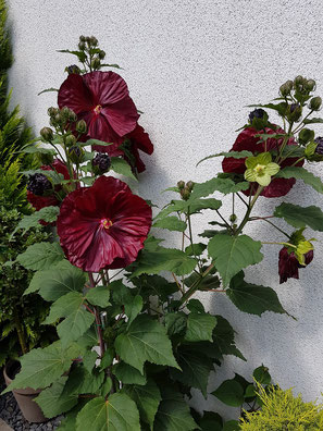 """Hibiscus x moscheutos, große, gerüschte dunkel rote Blüten, d´grüne Hortensien ähnliche Blätter, so präsentiert sich Hibiskus """"Robert Fleming"""" in voller Pracht. romantisch & elegant"""