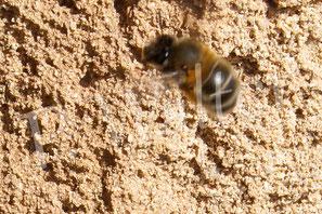 März 2016 : (männliche) Wildbiene, die an der Wand Patroullie fliegt, um später schlüpfende Weibchen abzufangen