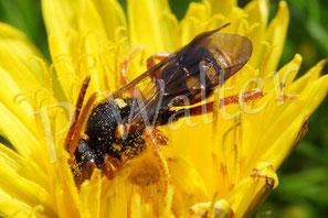18.04.2015 : wohl eine Wespenbiene, eine Kuckucksbiene zur obigen schwarz-weißen Sandbiene