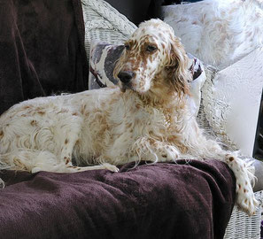 English Setter Jugend-Champion FCI