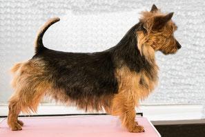 Australian-Terrier-Zuchthündinnen_von-den-Grauen-Anfurten
