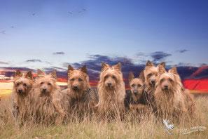 Australian Terrier  mit Deerhound im Outback