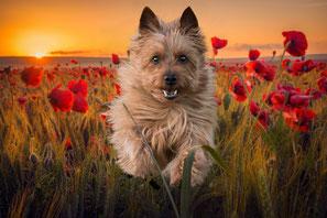 Australian-Terrier-von-den-Grauen-Anfurten Fotogalerie
