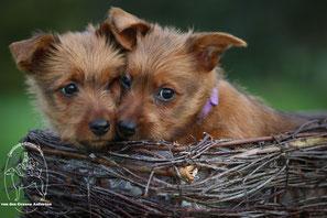 Australian_Terrier_Welpen