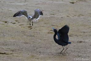 Une mouette attricille vol une aigrette bleu