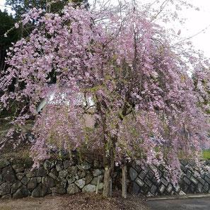 金峰神社(見座)の枝垂れ桜