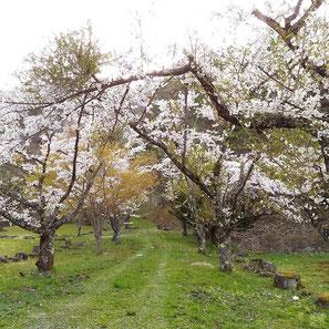 カクレハ高原の枝垂れ桜