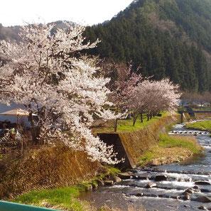 西洞川河川敷の枝垂れ桜