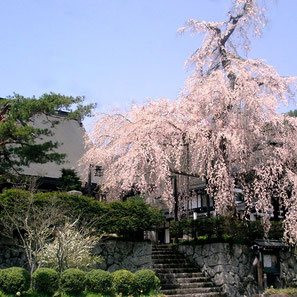 法正寺(西洞)の枝垂れ桜