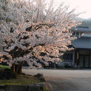万石公民館の枝垂れ桜