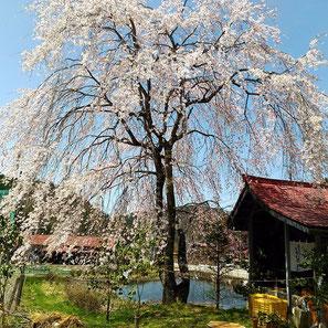 御旅所(寺澤)の枝垂れ桜