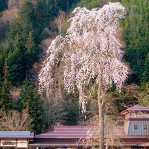道の駅ひだ朝日村の枝垂れ桜
