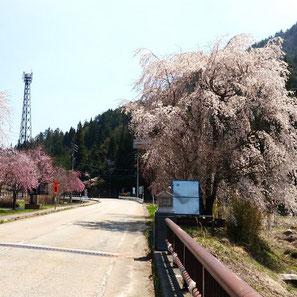 日の出橋(小谷)の枝垂れ桜