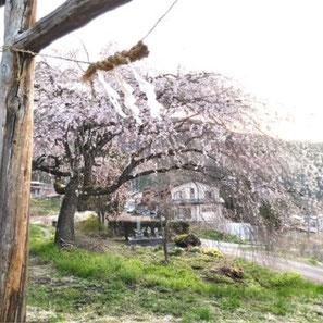 神明神社(大広)の枝垂れ桜
